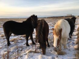 Icelandic horses. Hardy beasts!